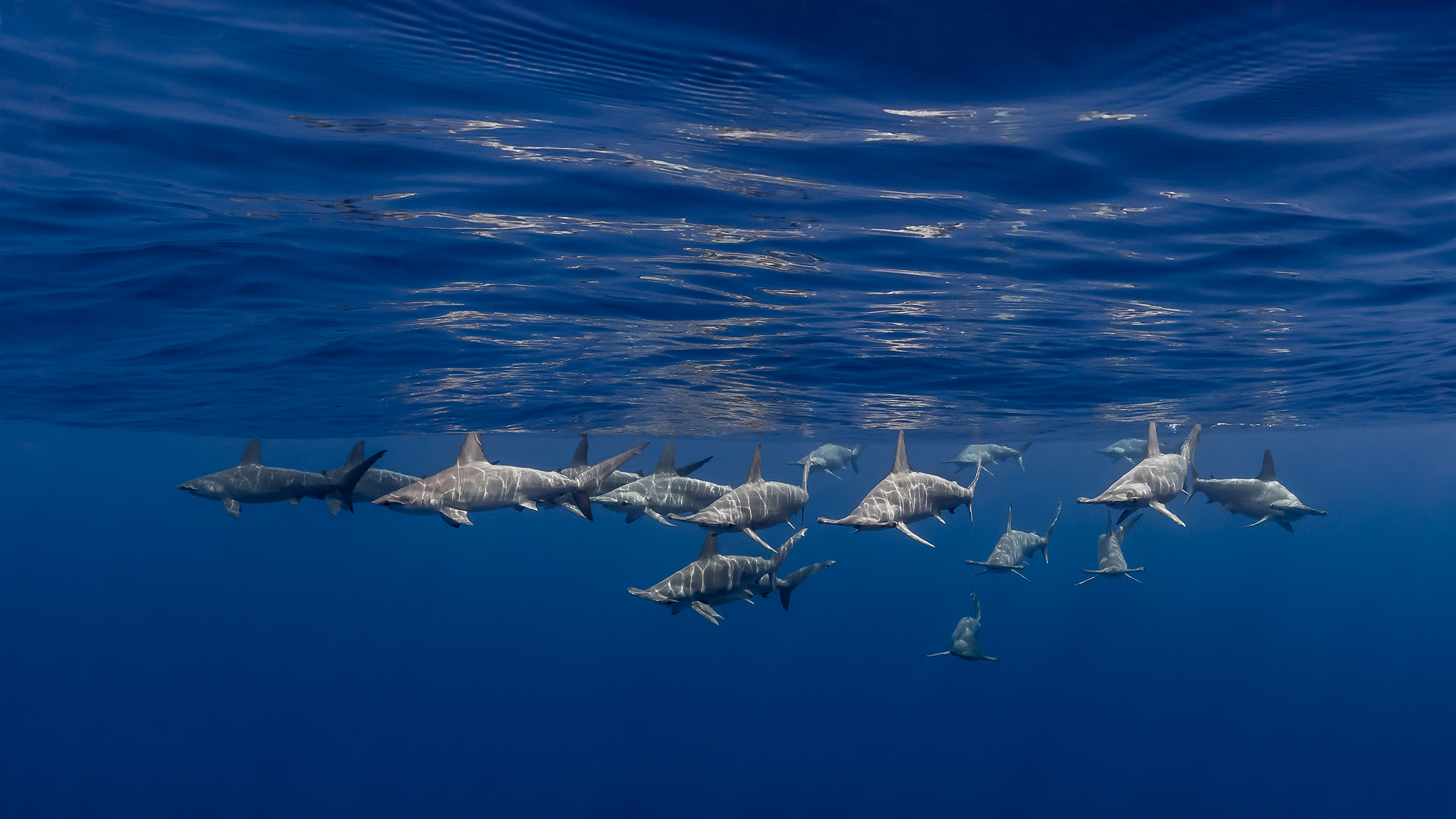 Kona Hawaii - approaching school of scalopped hammerheads, split