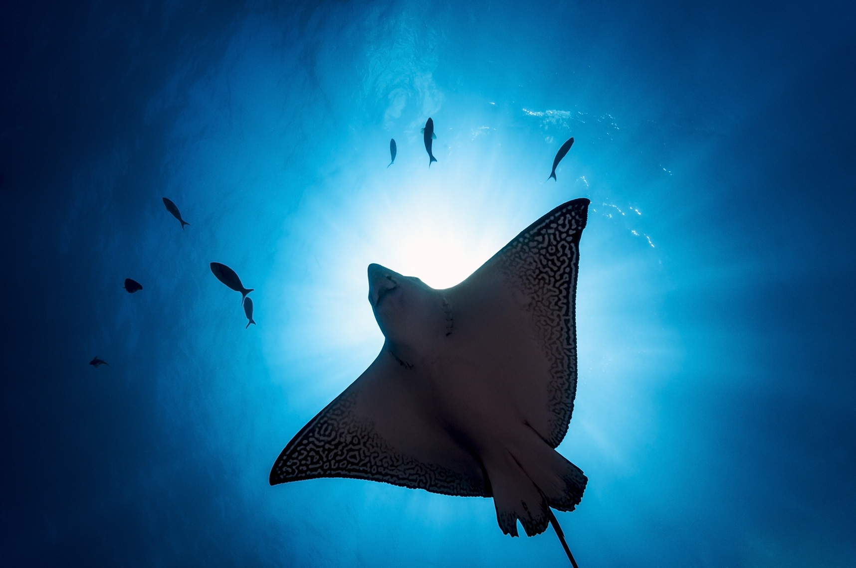 Galapagos - spotted eagle ray