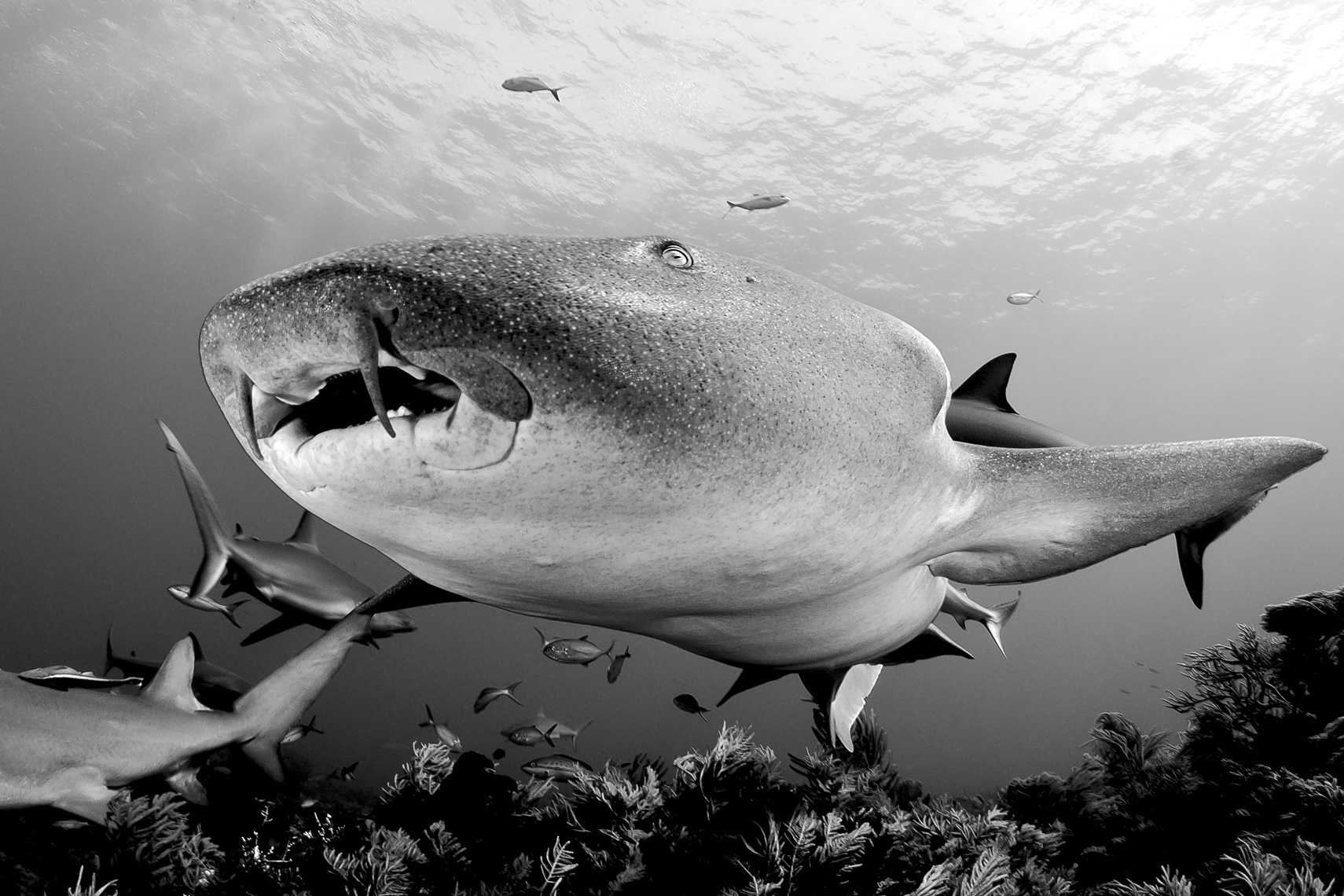 Tiger beach - nurse shark black and white