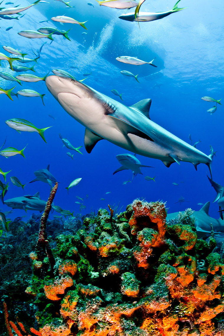 Tiger beach - caribbean reef shark and corals