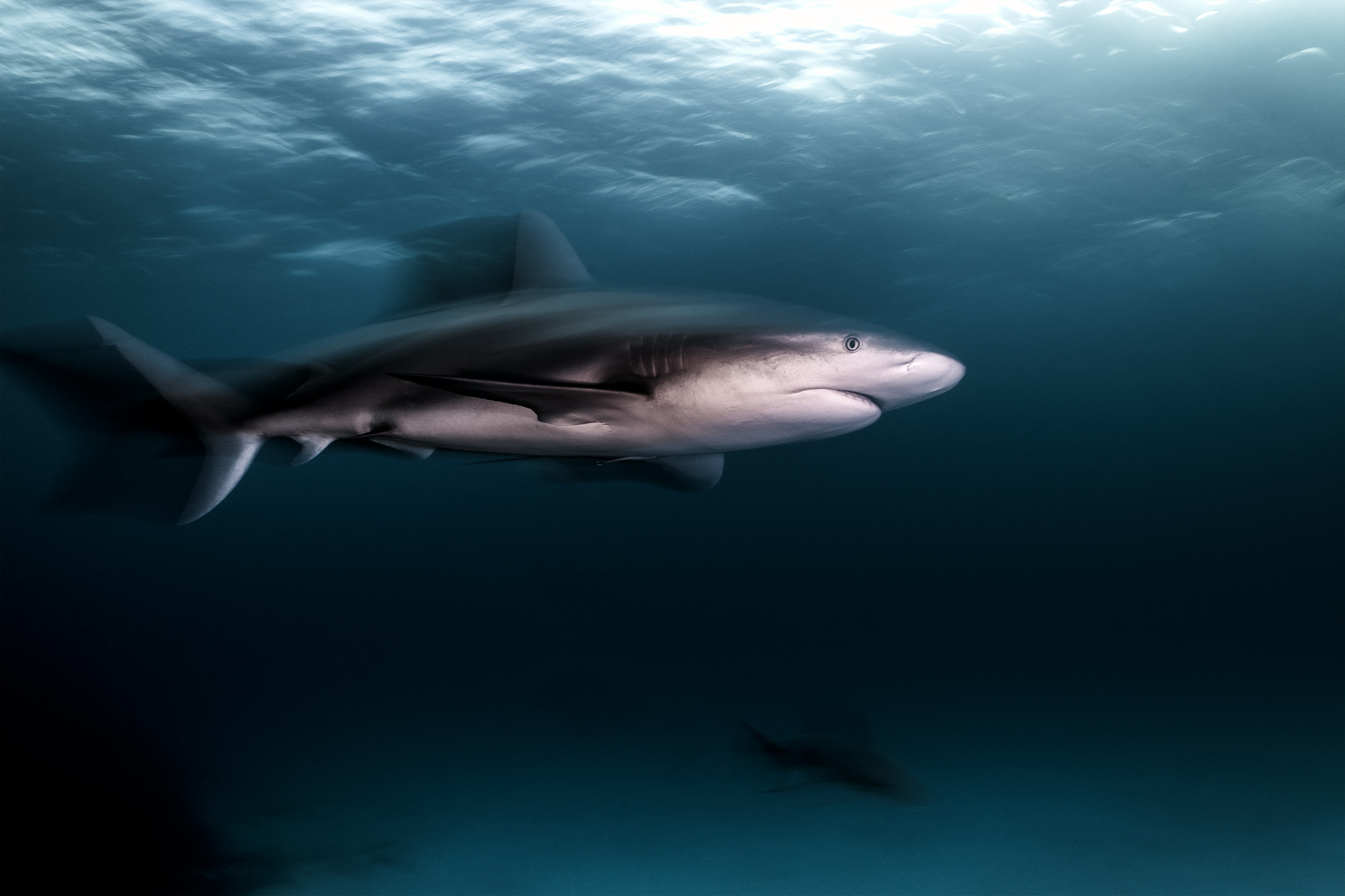 Tiger beach - caribbean reef shark / motion blur