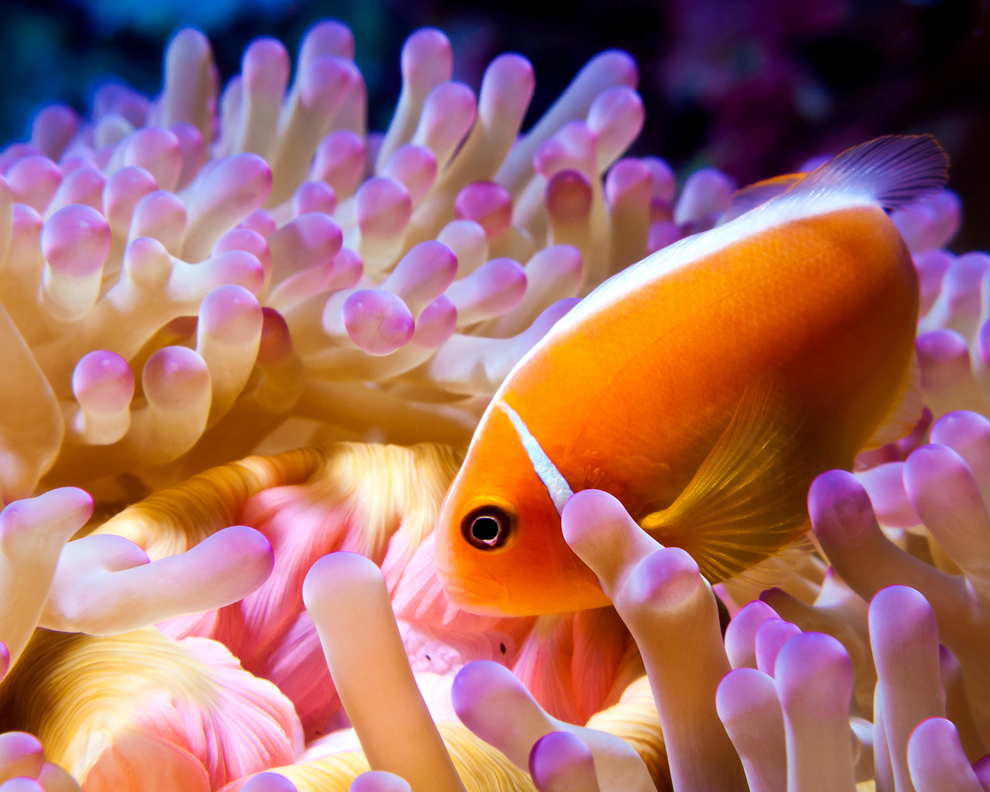 Pink anemonefish and anemone