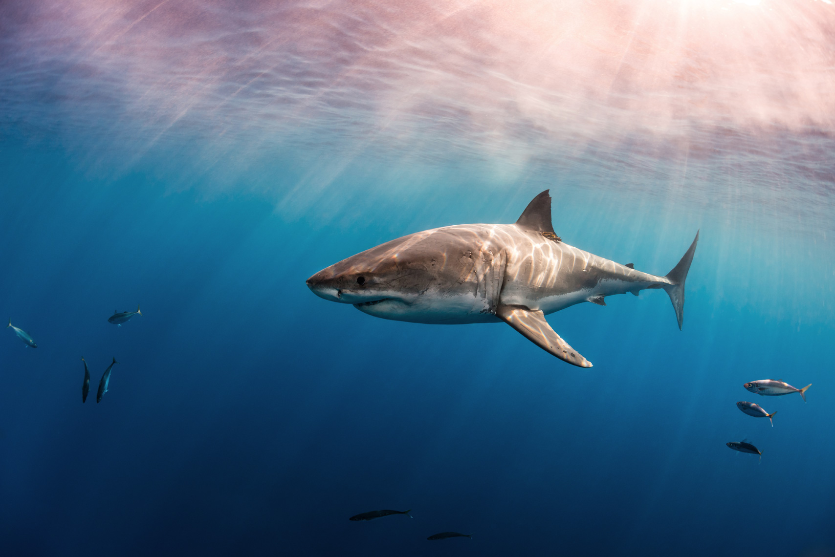 White shark and sun