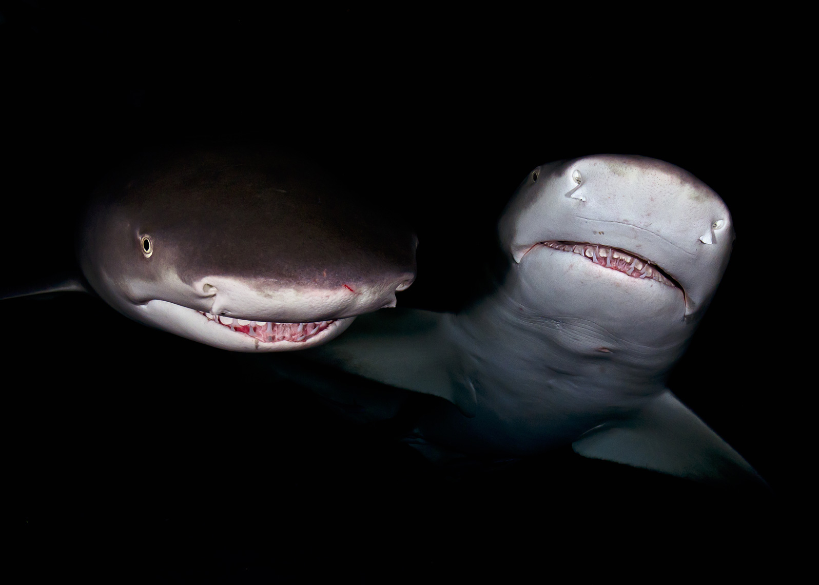 Tiger beach - lemon sharks at night