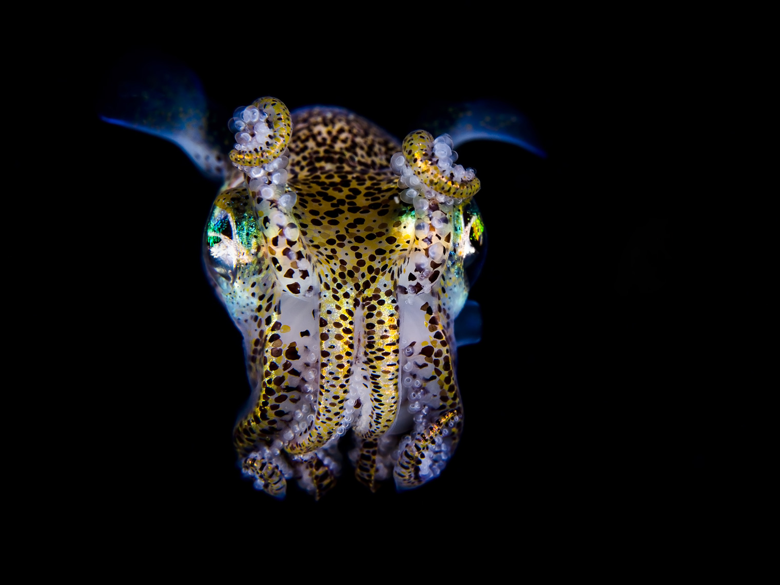 Anilao - bobtail squid at night