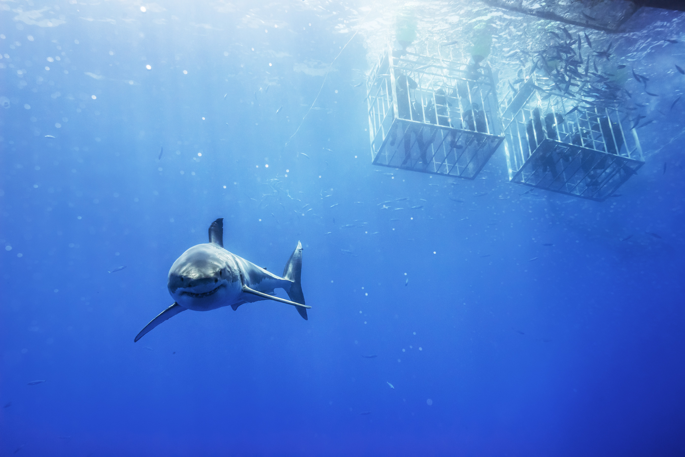 Galapagos - great white shark and cages
