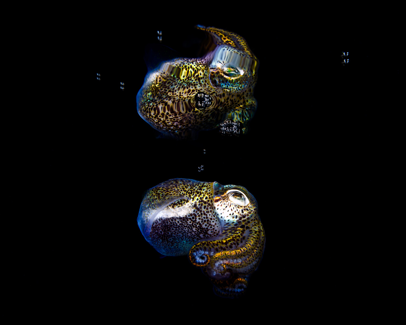 Anilao - bobtail squid surface reflection