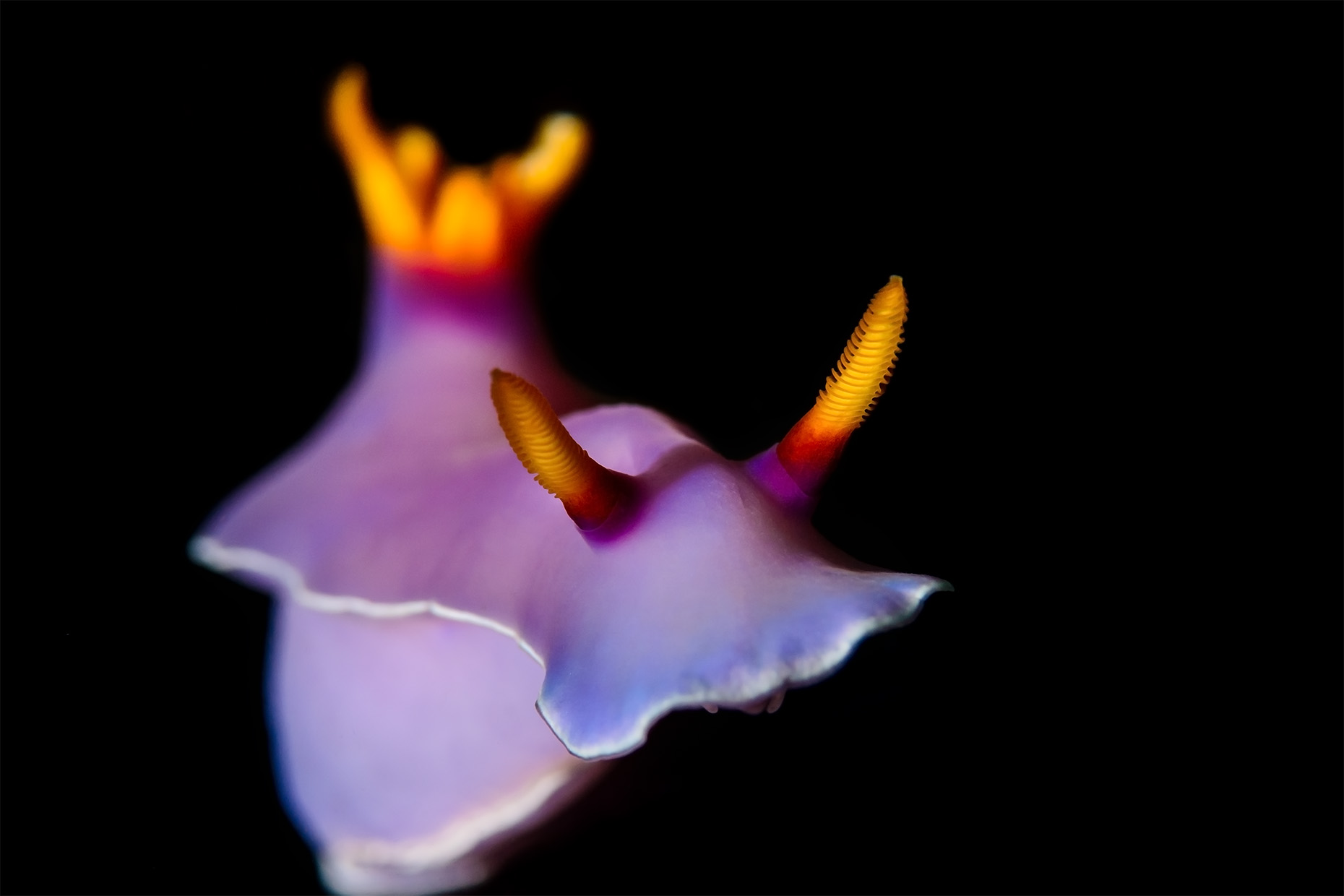 Royal hypselodoris