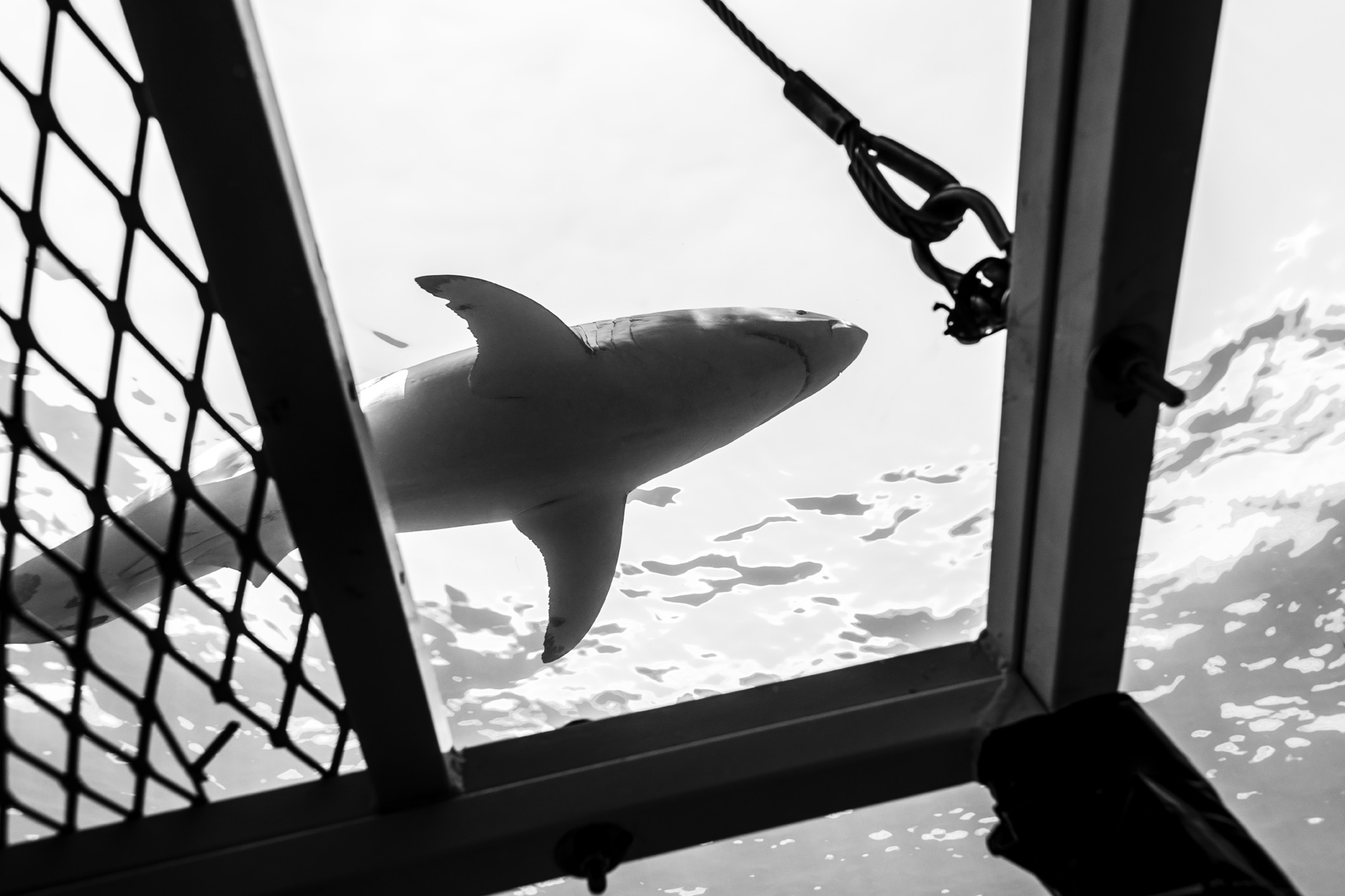 Guadalupe - great white shark above cage