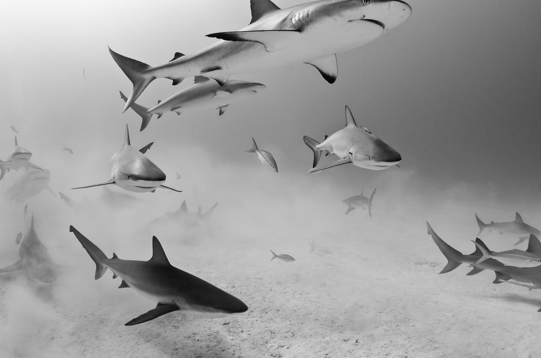 Tiger beach - caribbean reef sharks
