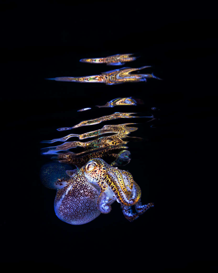 Bobtail squid surface reflection