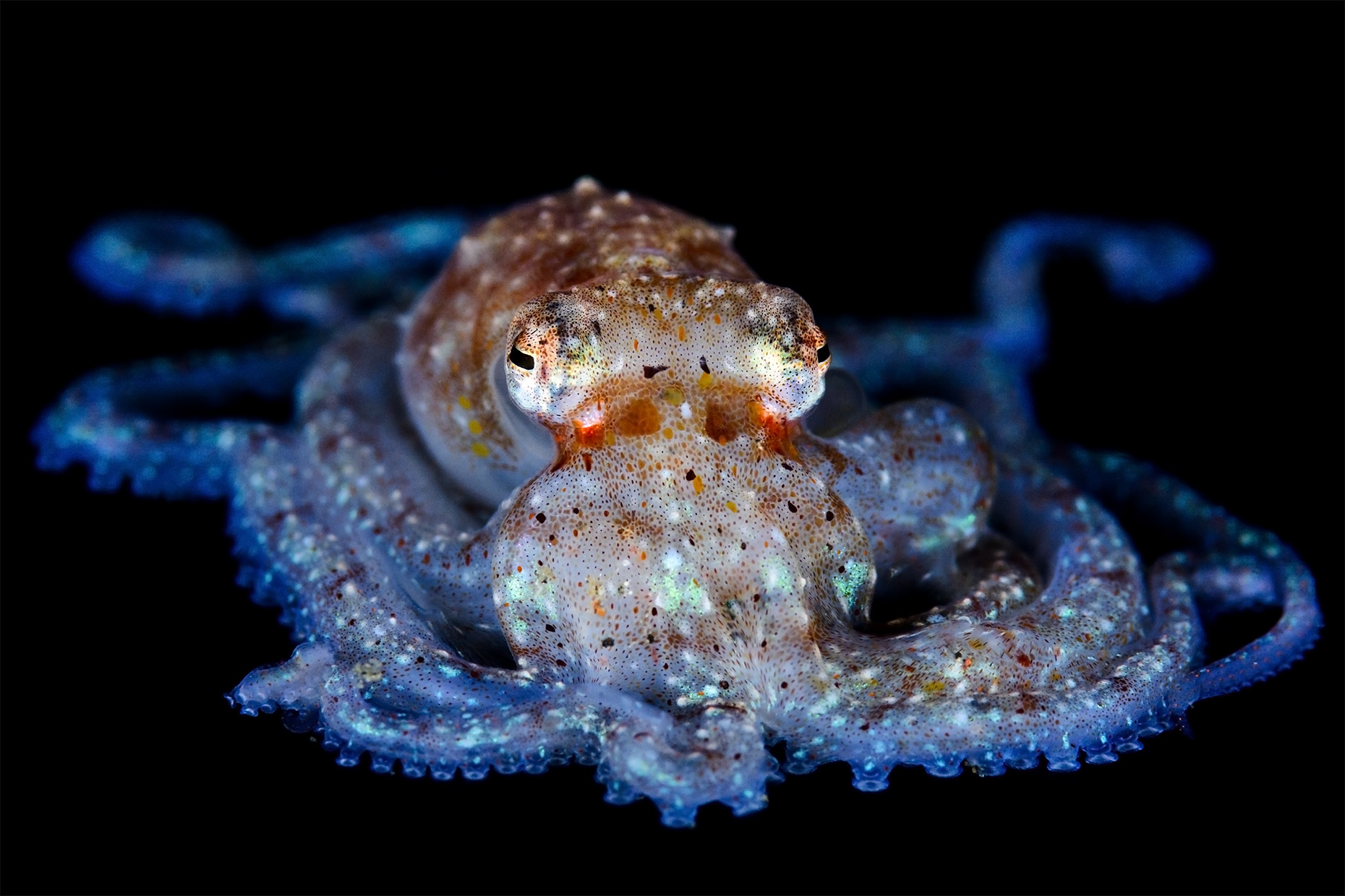 Unidentified pelagic octopus (juvenile)