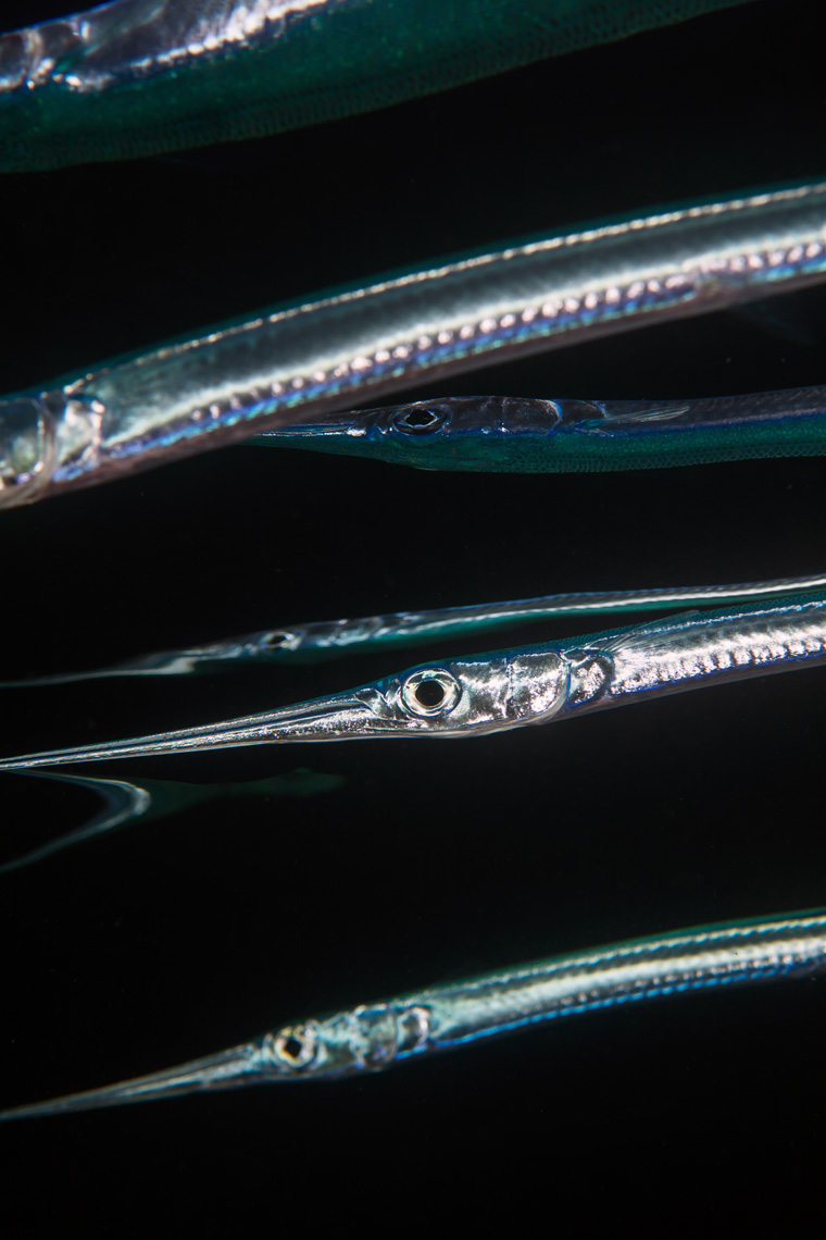Needlefish and reflections