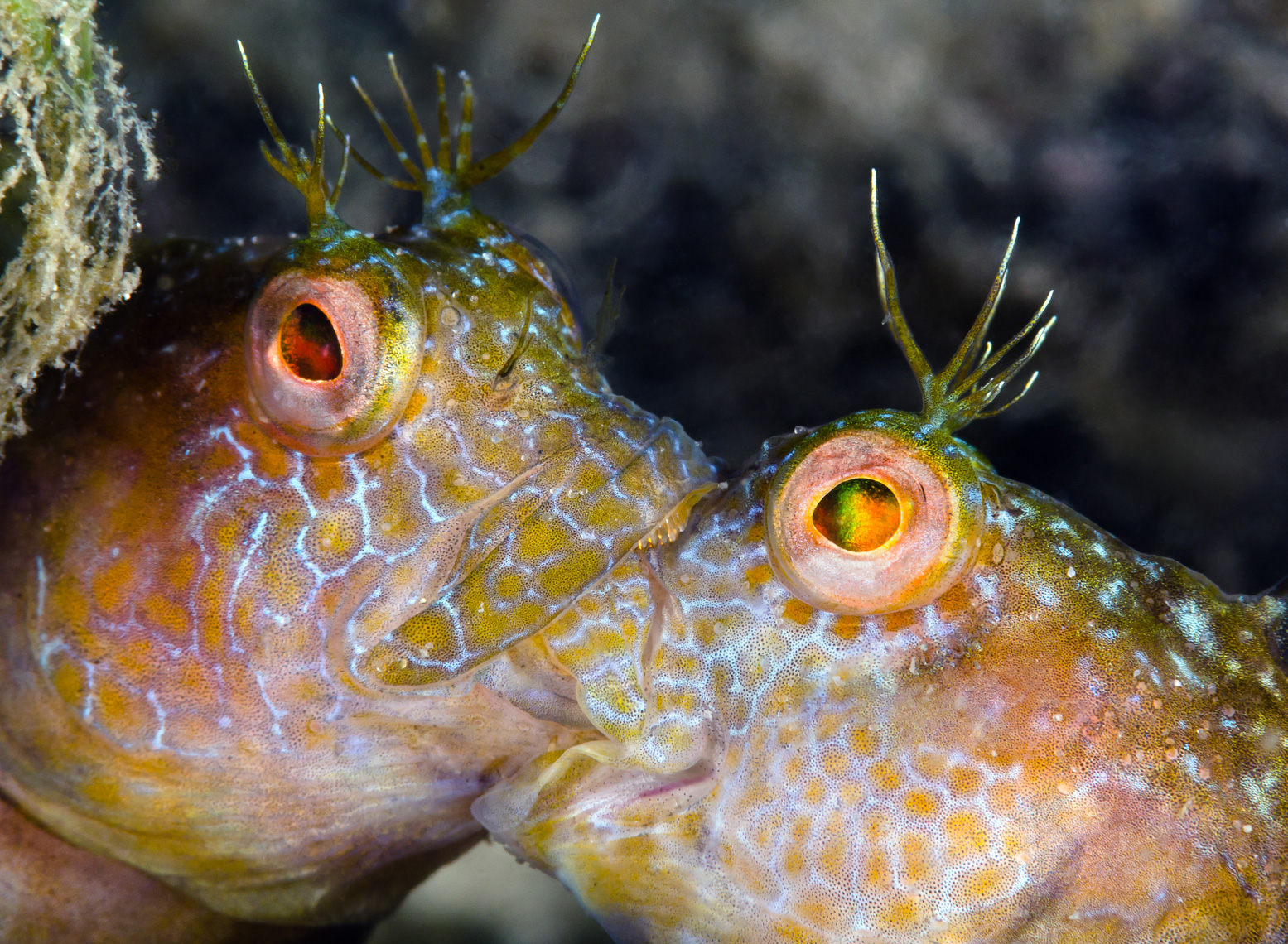 Seaweed blennies fighting