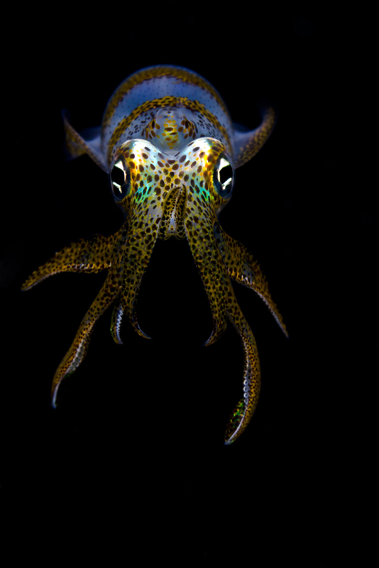 Anilao - bigfin reef squid at night