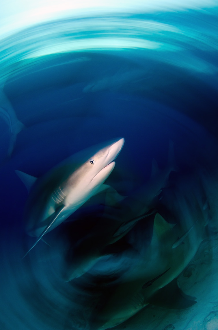 Tiger beach - caribbean reef shark