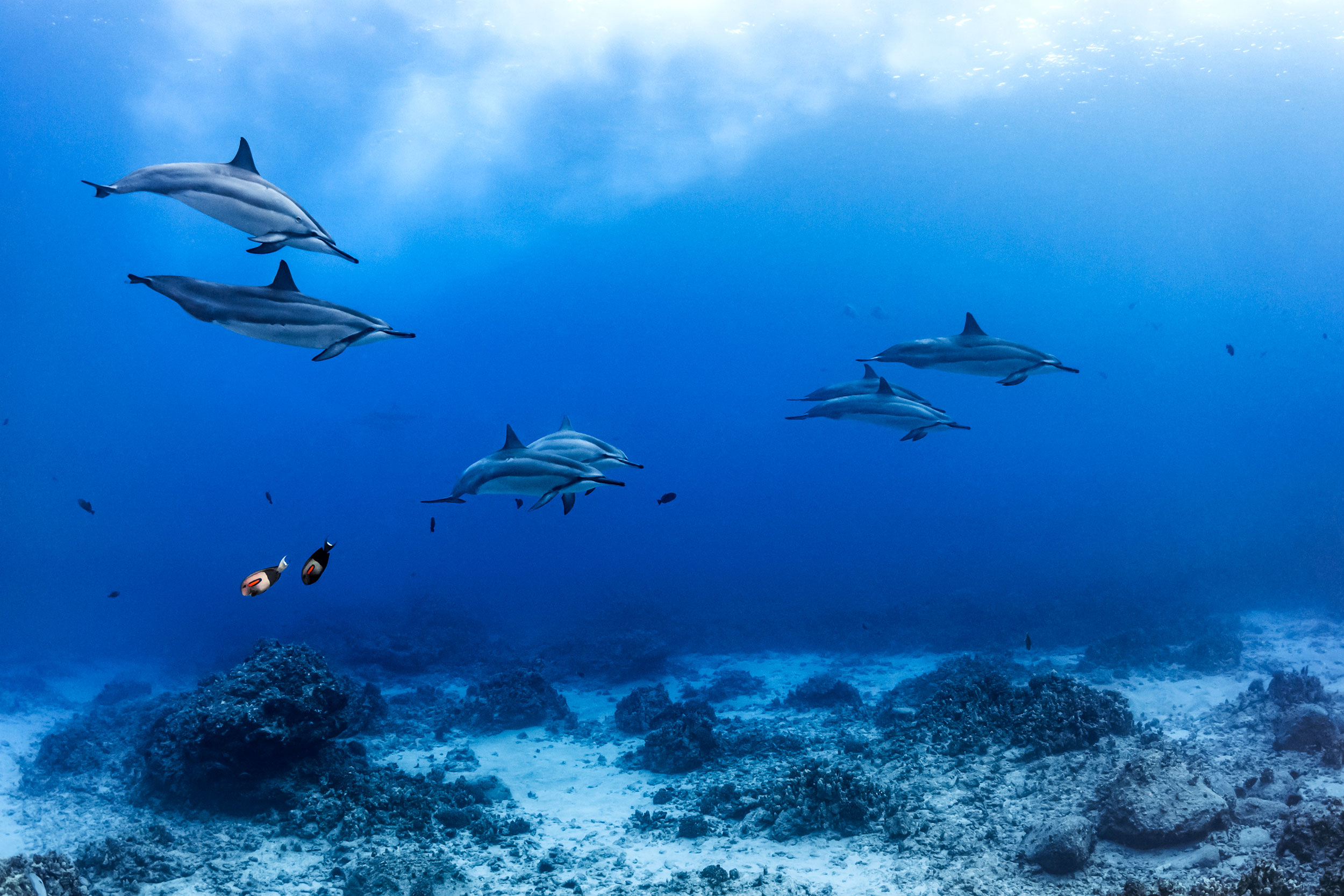 Kona - spinner dolphins with orangespot surgeonfish